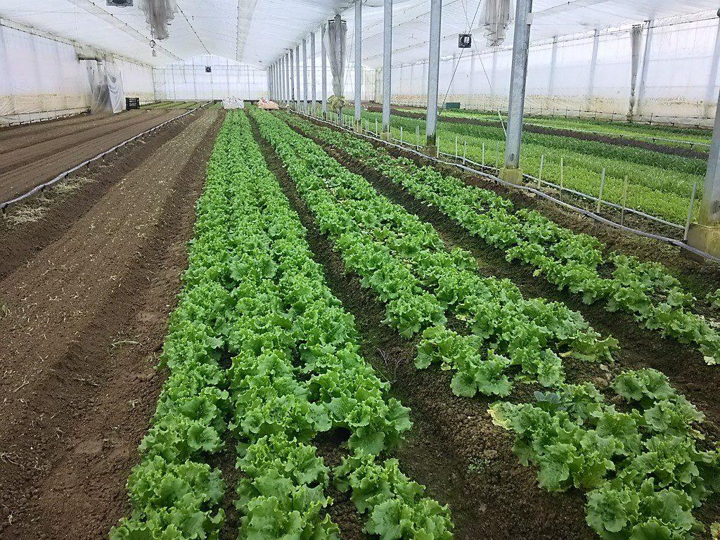 野菜作りの温室風景