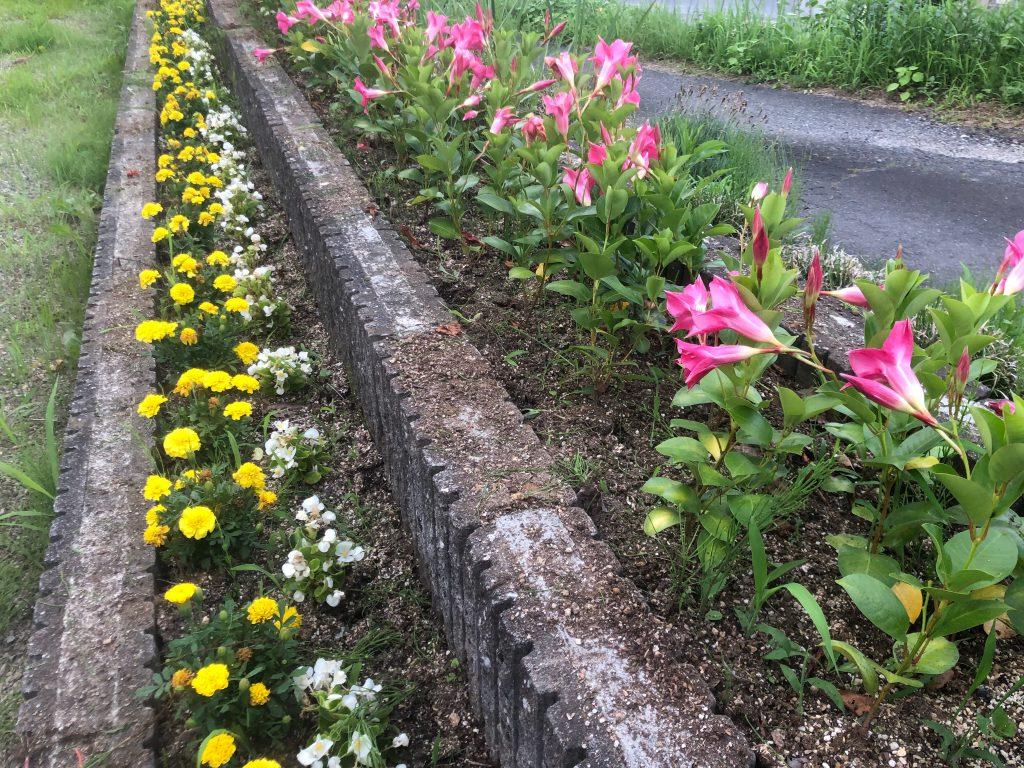 熱中症対策として午後の2時〜4時位まで外出を避けるぐらい毎日、暑い日が続いていますが、この暑さの中で咲き続けているのが、こちらのマリーゴールドホットパック